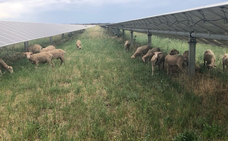 Dual use of land with our new woolly tenants at Gannawarra Solar Farm